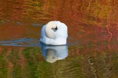 Swan, Dyrham Park