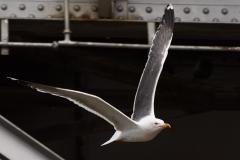 Lesser black backed gull, Floating Harbour