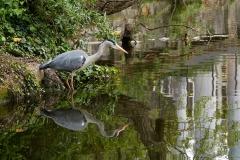 Grey Heron, Regent's Canal