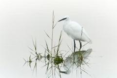 Little Egret, Bosham
