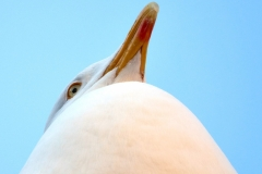 Herring Gull, St Ives