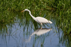 Great white egret, Ham Wall