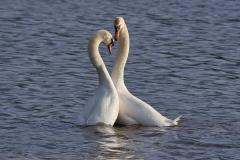 Mute swan courtship, Herriott's Pool