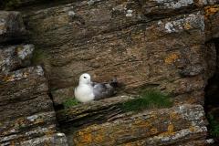 Fulmar, South Ronaldsay, Orkney