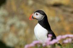 Puffin, Westray, Orkney