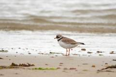 Ringed plover, Westray, Orkney