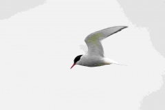 Arctic Tern, Stenness, Orkney