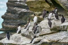 Guillemots (and a razorbill), Brough of Birsay, Orkney