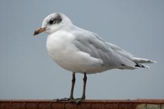 Mediterranean gull, Mistley, Essex