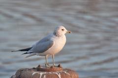 Common gull, Chew Valley Lake