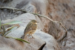 Rock pipit, Pill