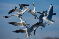 Black-headed gulls, Kensington park
