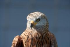 Red kite (captive)