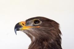 Steppe eagle (captive)