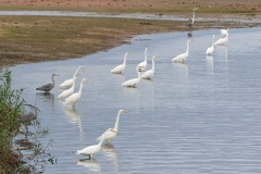 Great white egrets and grey herons, Chew Valley Lake