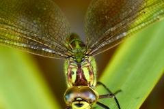 Southern Hawker dragonfly (F)