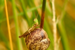 Grasshopper hitching a ride on a snail