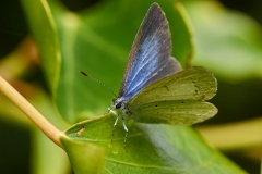 Holly blue butterfly, Clevedon Court