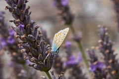 Common blue butterfly, Clevedon Court