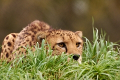Cheetah in the grass, The Wild Place