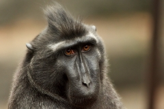 Sulawesi crested macaque, Chester Zoo