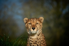 Cheetah, The Wild Place