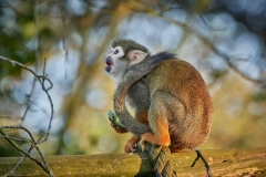 Squirrel monkey, Bristol Zoo